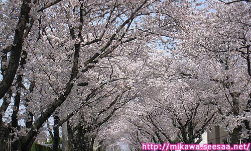 豊田高専桜並木