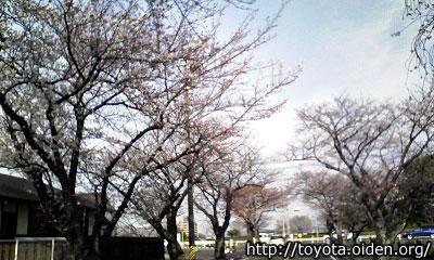 豊田市桜情報3